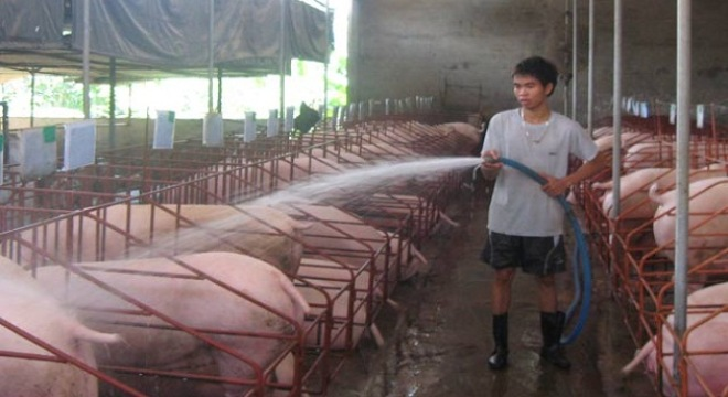Kết quả hình ảnh cho chăn lợn